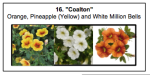 """Coalton"", a mix of Orange, Pineapple (Yellow) and White Million Bells"