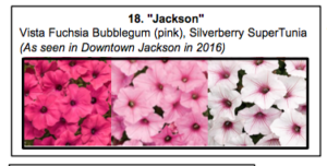 """Jackson"", a mix of Vista Fuchsia Bubblegum (pink), Silverberry SuperTunia, which was seen in downtown Jackson last summer."