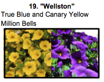 """Wellston"", a mix of True Blue and Canary Yellow Million Bells."