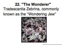 """The Wanderer"", a mix of Tradescantia Zebrina, commonly known as the ""Wandering Jew""."