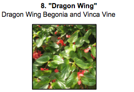 """Dragon Wing"", a mix of Dragon Wing Begonia and Vinca Vine"